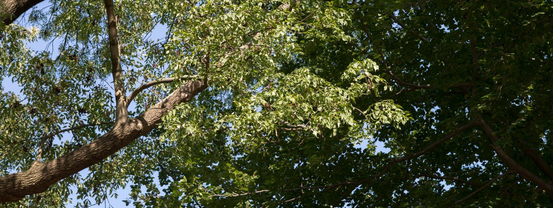 Pflege gesunder Laubbäume