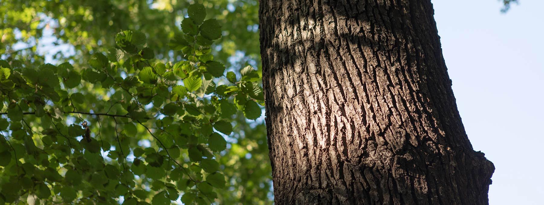 Gesunder Baum