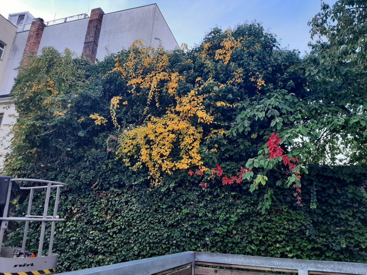 Rückschnitt Fassadengrün in Cottbus (vorher)