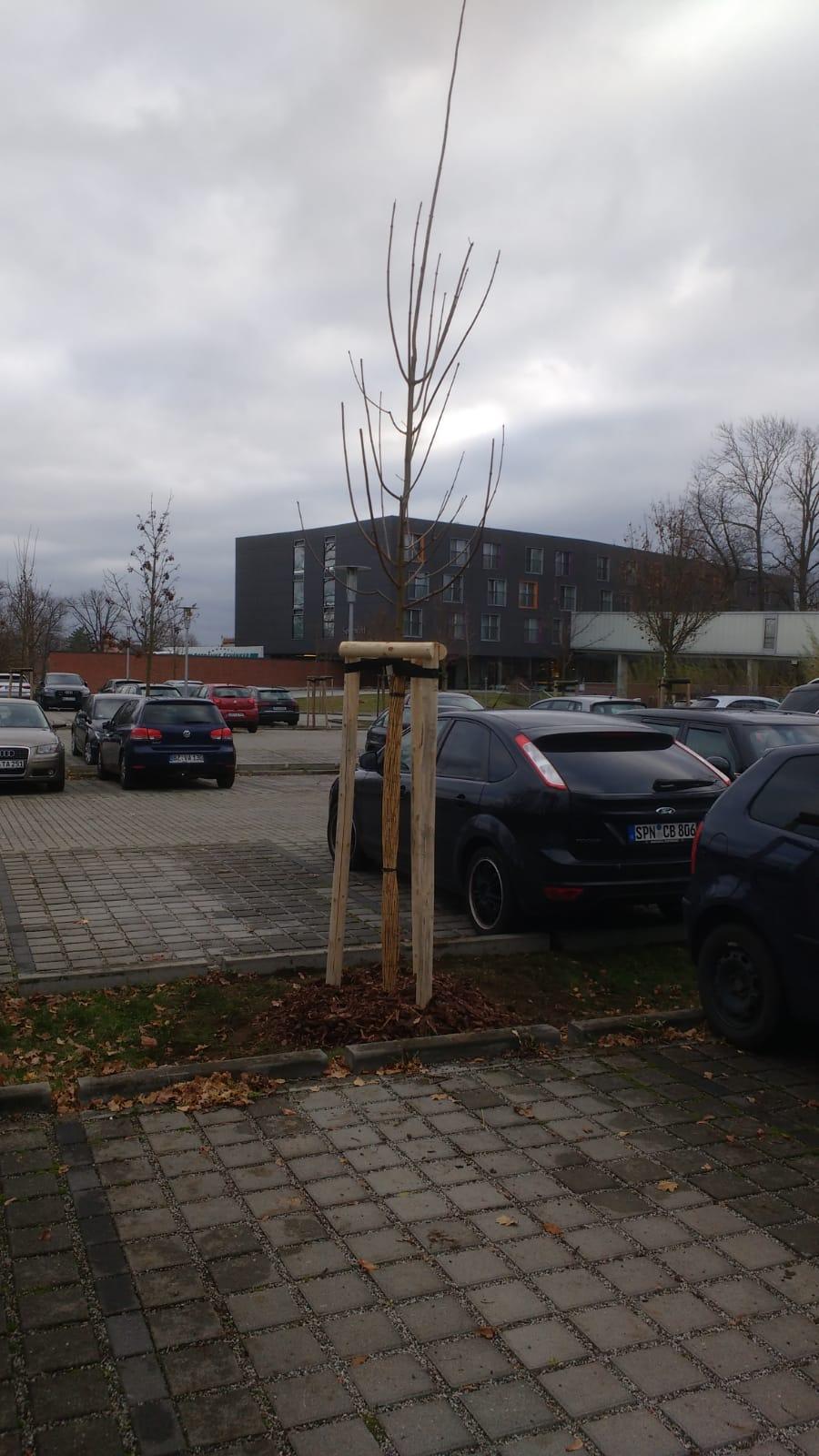 Baumpflanzung auf Parkplatzflächen Burg