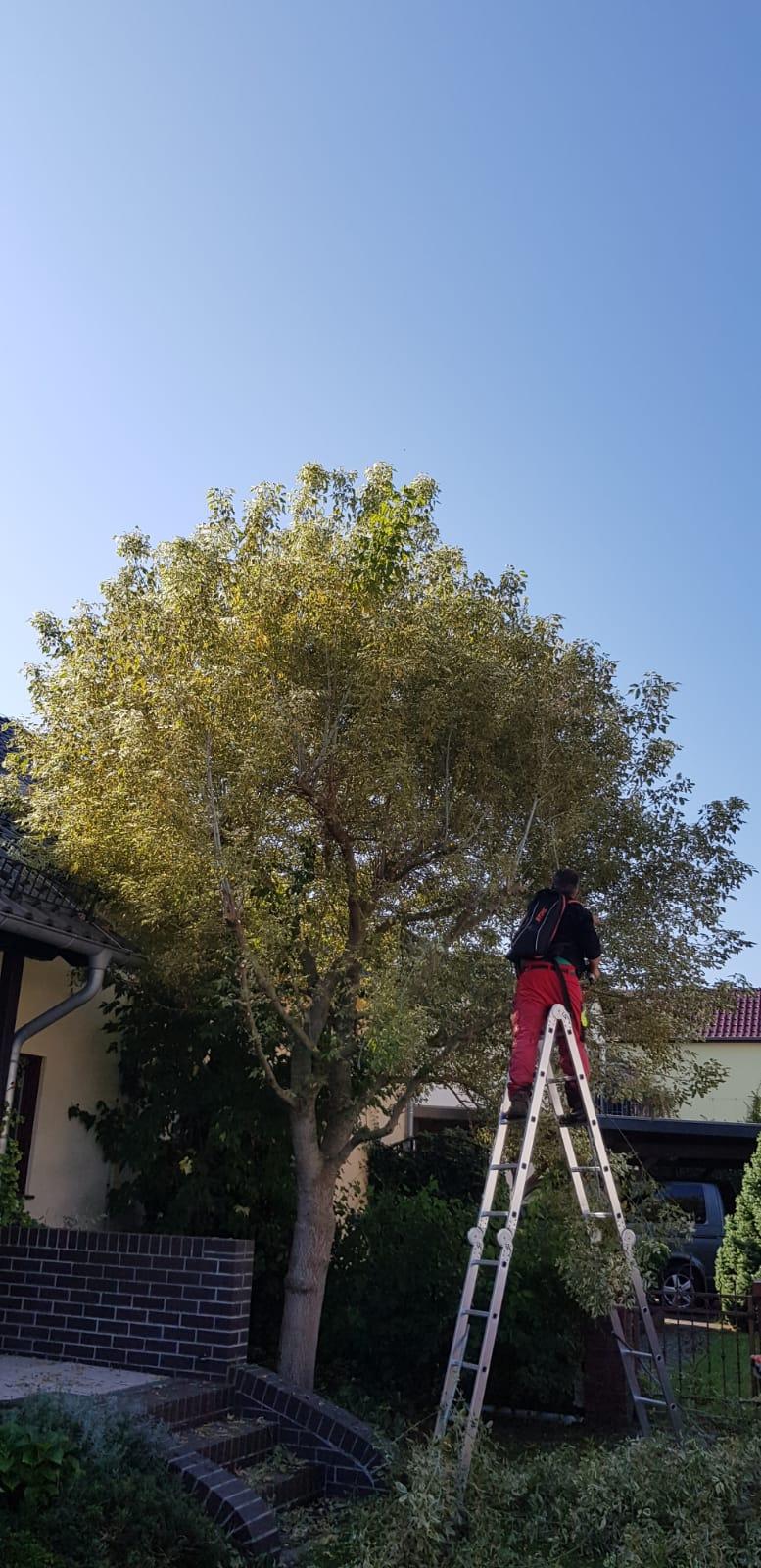 Baumpflegearbeiten in Cottbus vorher